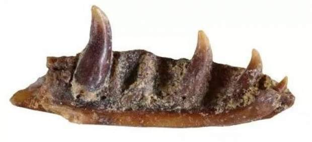 Mandíbula del nuevo lagarto sin patas, 'Ophisaurus manchenioi'.