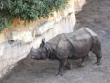 Rinoceronte Tarun