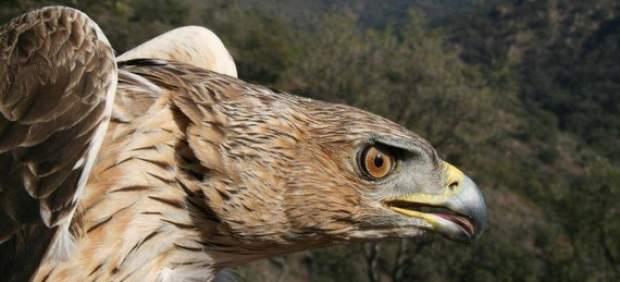 Un ejemplar de águila perdicera.