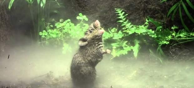 Ratón cantor