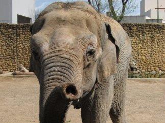elefanta Flavia