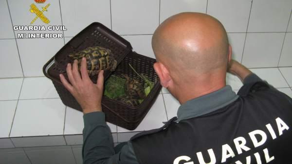 Almería.-Sucesos.- Detenido por transportar sin documentación una tortuga mora d