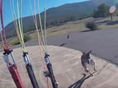 Un canguro agrede a un paracaidista