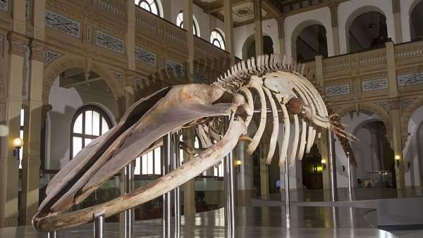 Esqueleto Rorcual