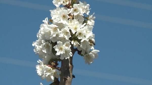 +++Eptv: Comienza La Floración De Los Cerezos En El Valle Del Jerte Que Durará H