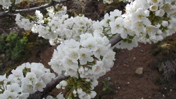 COMUNICADO: La floración en el Valle del Jerte anuncia las mejores cerezas