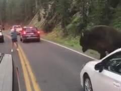 Un hombre se encara con un bisonte en Yellowstone