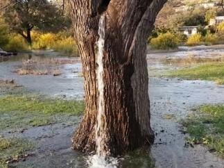 Viejo árbol que brota agua