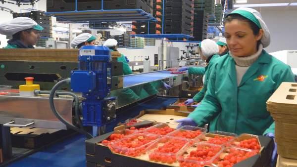 Huelva.- Economía.-Onubafruit, comercializadora de frutos rojos líder en Europa,