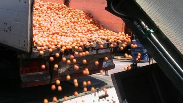 Descarga de naranjas en la planta de Zumos Pascual en Palma del Río (Córdoba)