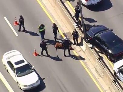 Una vaca en medio de una autopista