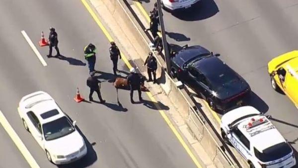 Una vaca causa el caos en una autopista de Nueva York