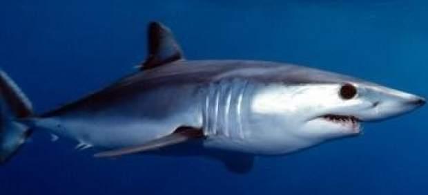 Tiburón mako o marrajo común.
