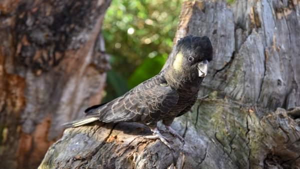 Loro Parque exhibe por primera vez todas las especies de cacatúas del mundo