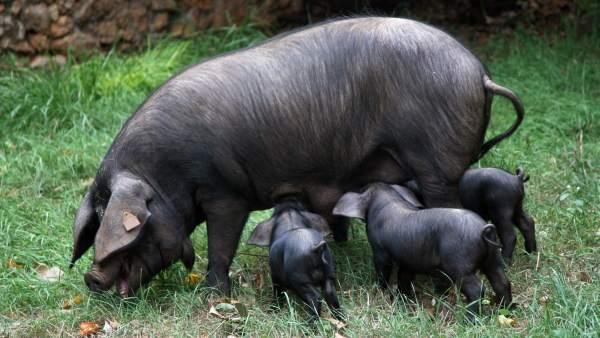 Baleares.-El cerdo negro mallorquín contiene un 60% más grasas saludables que el