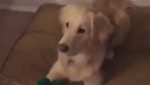 Se disfraza del juguete favorito de su perro