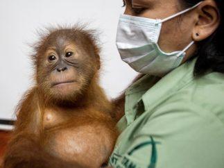 Galería del día | Orangután recuperado