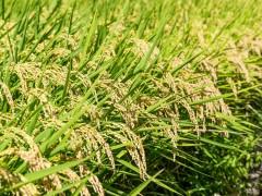 cáscaras de arroz