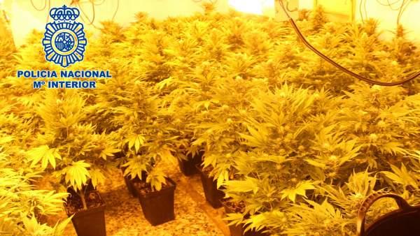 Almería.- Sucesos.- Detenido un matrimonio por tener 90 plantas de marihuana en