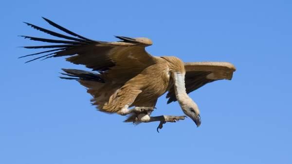 Buitre Leonado Ave Ornitología Ornitológico