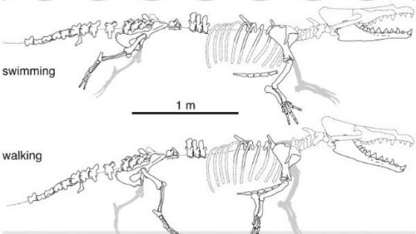 Gráfico del esqueleto de la ballena de cuatro patas encontrado en Perú.