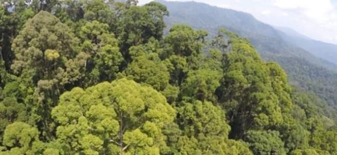 Árbol tropical más alto del mundo