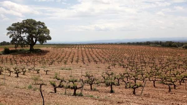 Viñedos en la Comunitat Valenciana, campo, viña, vid, vino, terreno