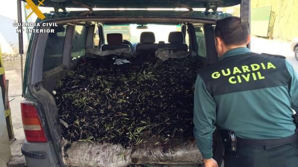 Córdoba.- Sucesos.- Detienen a cuatro personas de una misma familia y a una quinta acusadas de robar aceitunas y estafa