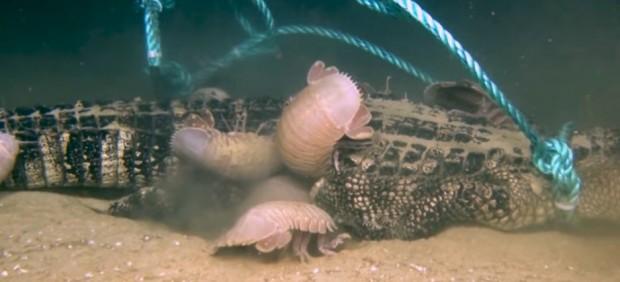 Isópodos devorando un cocodrilo