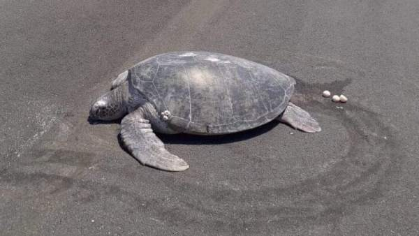 Una tortuga deja sus huevos en una pista de aeropuerto donde antes había una playa