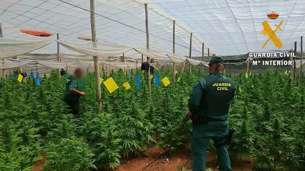 Almería.- Sucesos.- Localizada una plantación con 4.000 plantas de marihuana en cuatro invernaderos de El Ejido