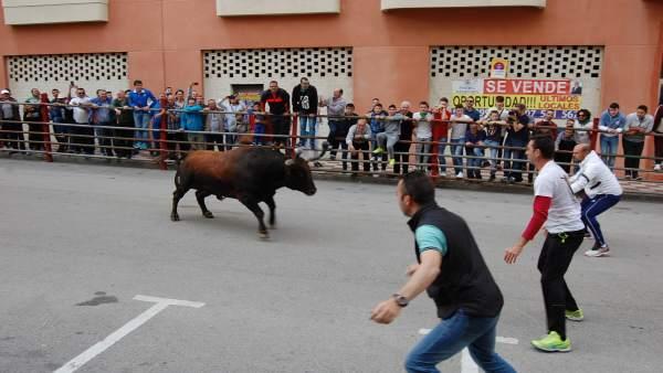 Cádiz.- Finalizan sin incidentes los encierros de la fiesta del Toro Embolao de Los Barrios