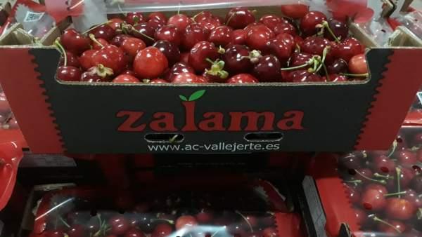 La campaña de la cereza del Valle del Jerte arranca este lunes con la entrada de los primeros kilos en las cooperativas
