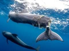 Un cetáceo con la cola casi mutilada por la colisión con un barco.