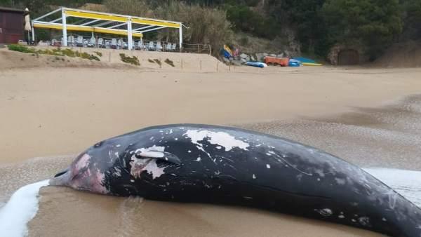 La ballena localizada en Tossa (Girona) murió embestida por un barco