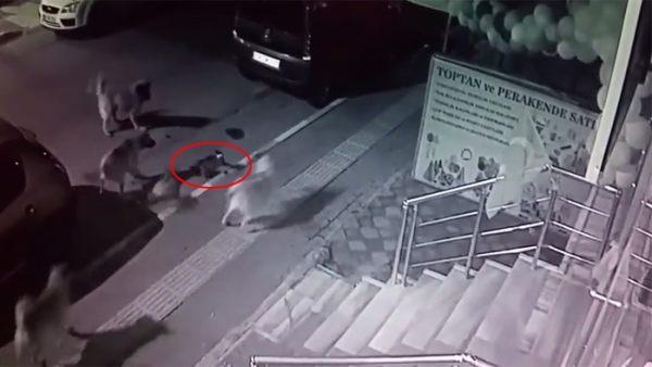 Un gato se enfrenta a una jauría de perros y gana la batalla