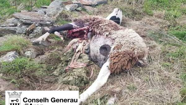 El oso Goiat mata una oveja y una cordera en Bausen (Lleida)