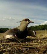 Una ave protege a sus polluelos