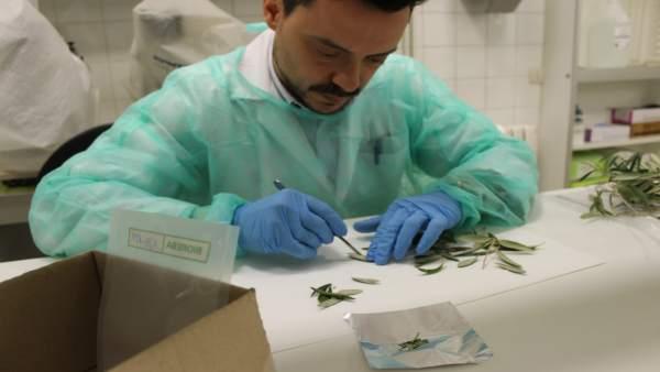Un investigador trabaja con una muestra para detectar 'Xylella fastidiosa'
