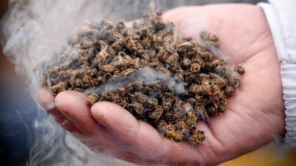 Así se protege a las abejas de su principal asesino