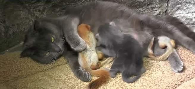 Gata adopta ardillas bebé