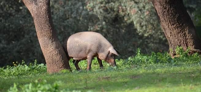 Cerdo en montanera