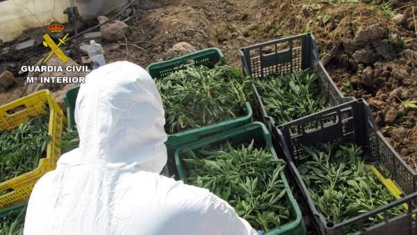Guardia Civil desmantela una plantación de marihuana sembrada en un melonar
