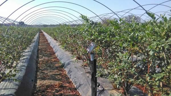 Agro.- Freshuelva advierte del 'desfase' entre el consumo y el precio del arándano en los mercados