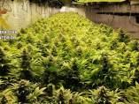 Castellón.- Sucesos.- Un detenido y nueve investigados en tres operaciones por cultivar más de 830 plantas de marihuana