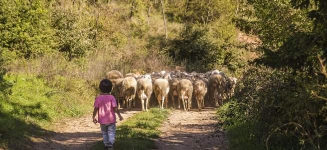 Ovelles pasturant en un dels paisatges de la ruta.