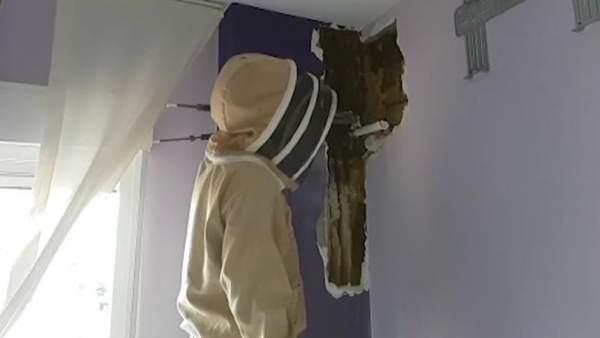 80.000 abejas en la pared de un dormitorio