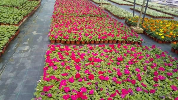 El vivero de la Diputación de Cáceres reparte unas 40.000 flores de temporada para embellecer los municipios