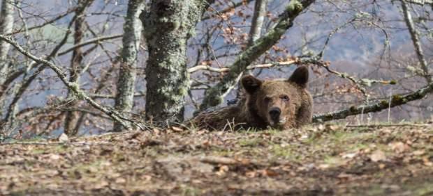 El oso Beato