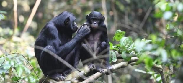 Las madres de chimpancé bonobo actúan de celestinas de sus hijos para asegurarse que serán ...